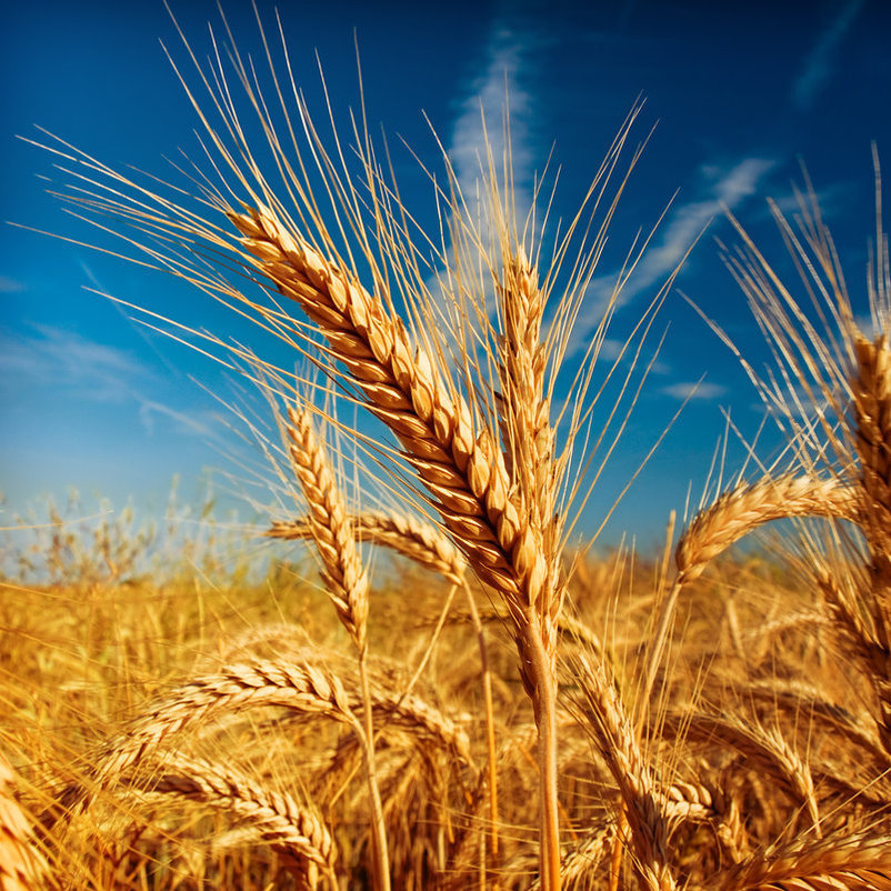 wheat_1_by_lossovidiu-d3ao4hv.jpg